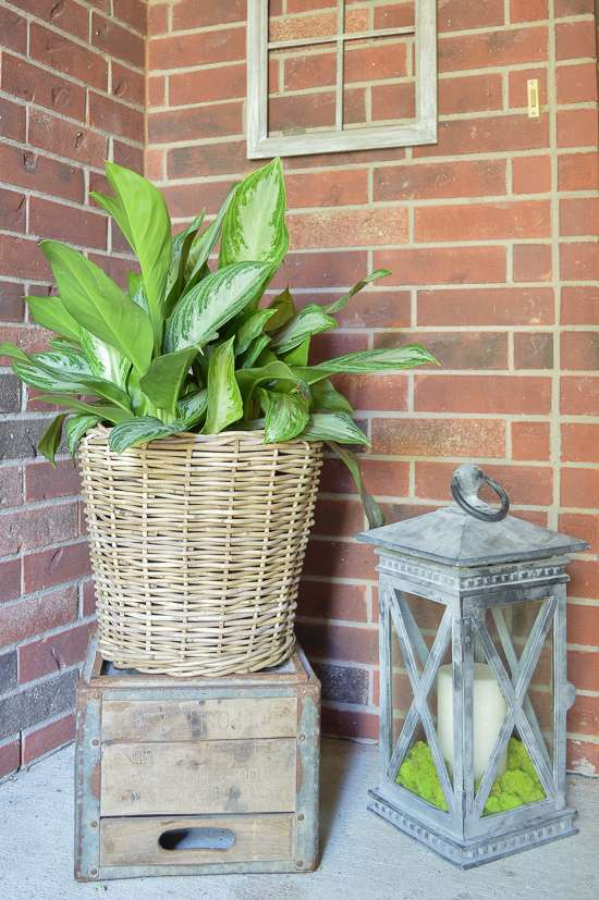 Chinese evergreen in basket